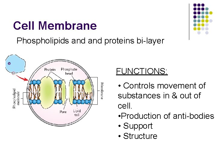 Cell Membrane Phospholipids and proteins bi-layer FUNCTIONS: • Controls movement of substances in &
