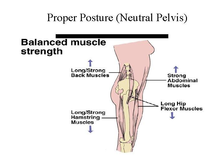 Proper Posture (Neutral Pelvis) Strong abdominals and longer hip flexors keep the pelvis neutral.