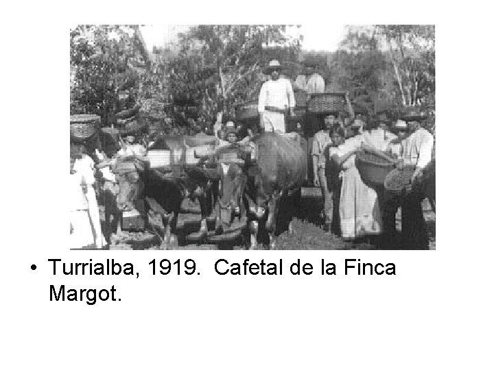 • Turrialba, 1919. Cafetal de la Finca Margot.