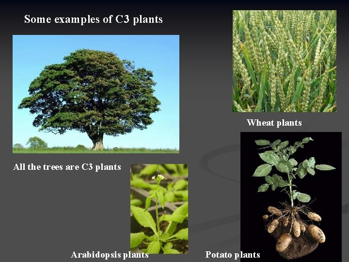 Some examples of C 3 plants Wheat plants All the trees are C 3