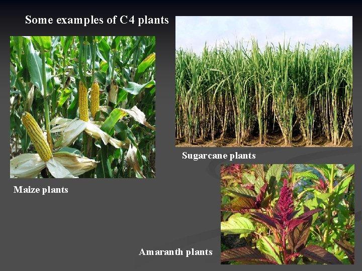 Some examples of C 4 plants Sugarcane plants Maize plants Amaranth plants