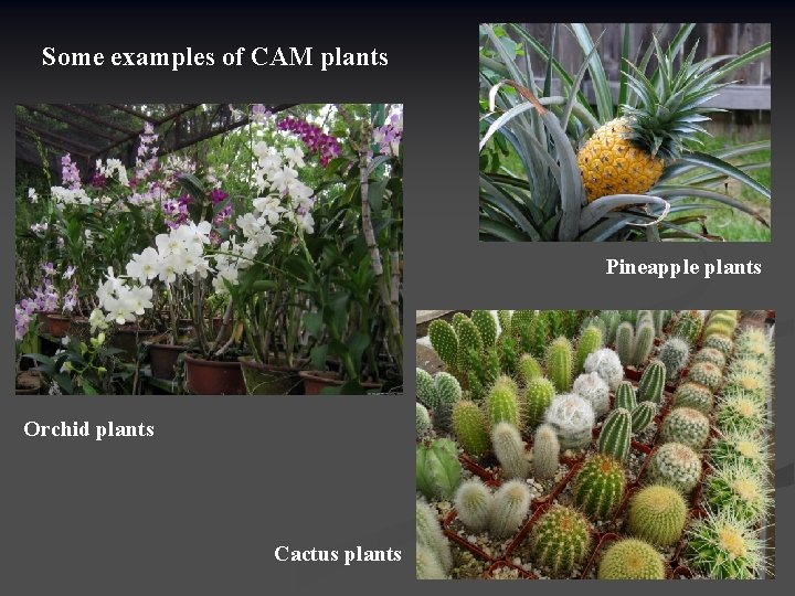 Some examples of CAM plants Pineapple plants Orchid plants Cactus plants