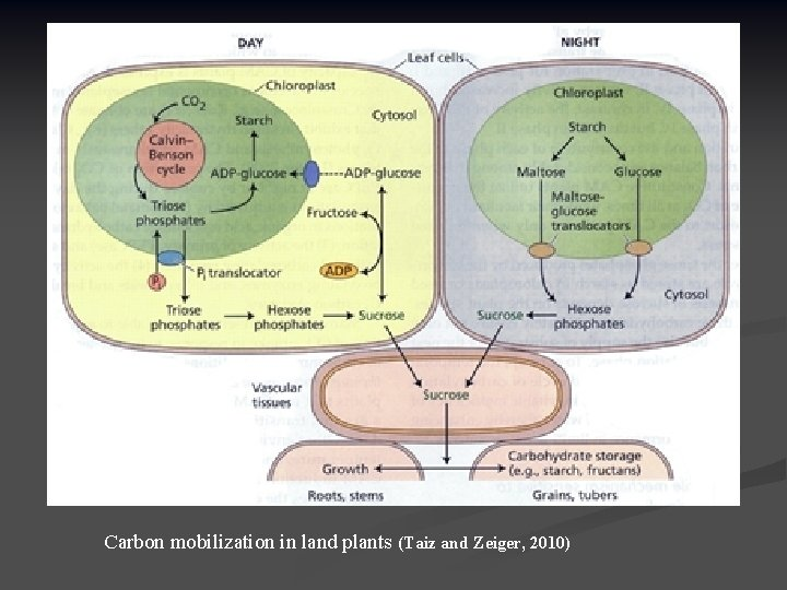 Carbon mobilization in land plants (Taiz and Zeiger, 2010)