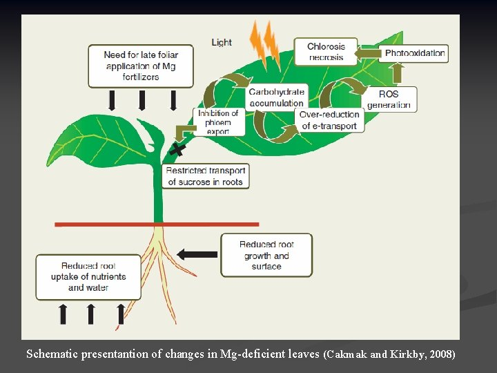 Schematic presentantion of changes in Mg-deficient leaves (Cakmak and Kirkby, 2008)