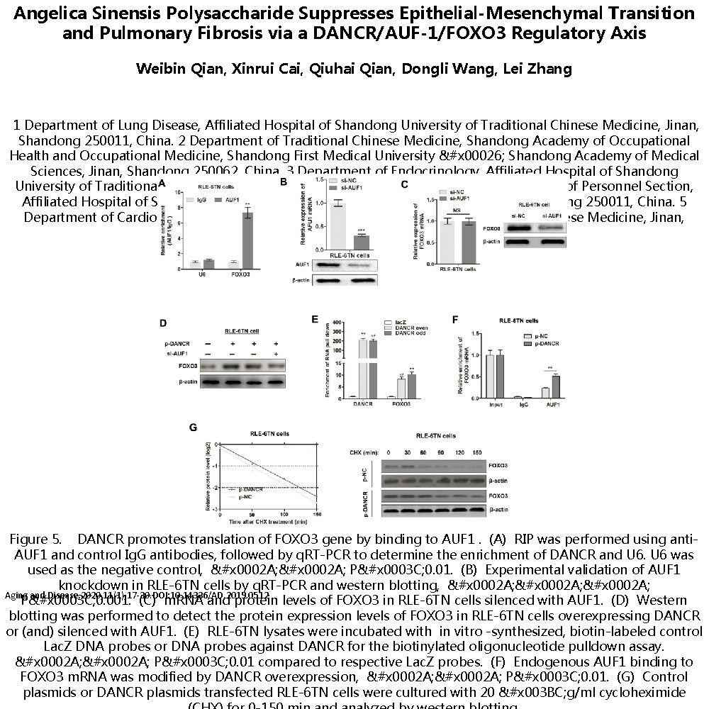 Angelica Sinensis Polysaccharide Suppresses Epithelial-Mesenchymal Transition and Pulmonary Fibrosis via a DANCR/AUF-1/FOXO 3 Regulatory