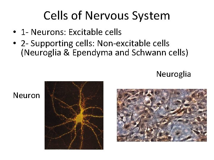Cells of Nervous System • 1 - Neurons: Excitable cells • 2 - Supporting
