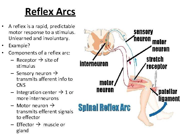 Reflex Arcs • A reflex is a rapid, predictable motor response to a stimulus.