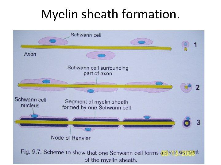 Myelin sheath formation.