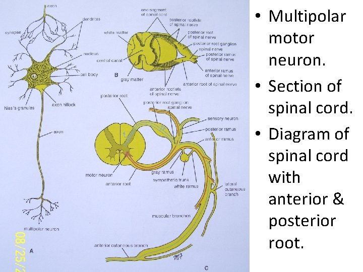 • Multipolar motor neuron. • Section of spinal cord. • Diagram of spinal