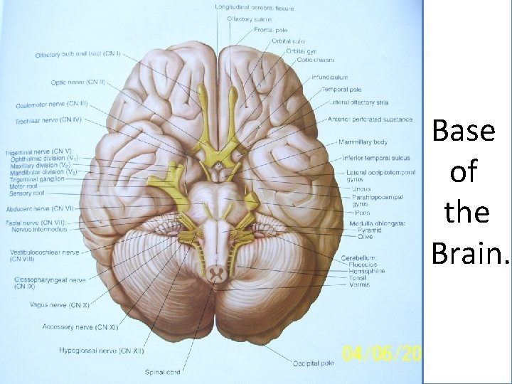 Base of the Brain.