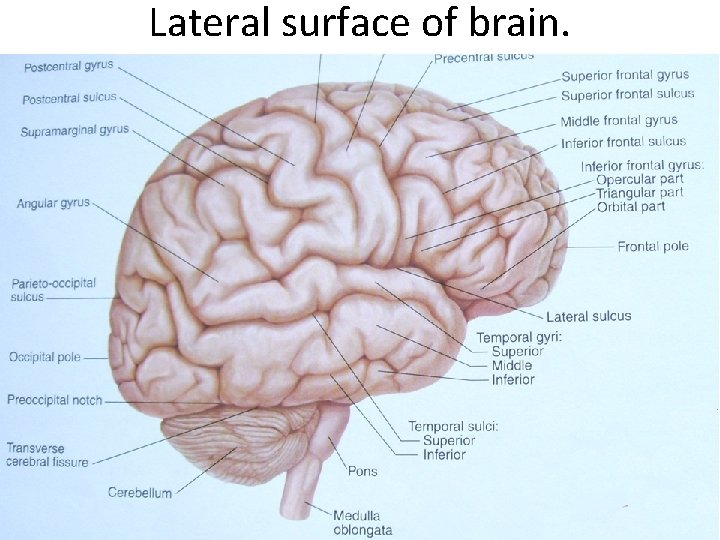 Lateral surface of brain.
