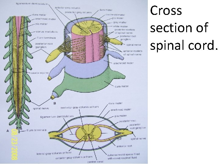 Cross section of spinal cord.