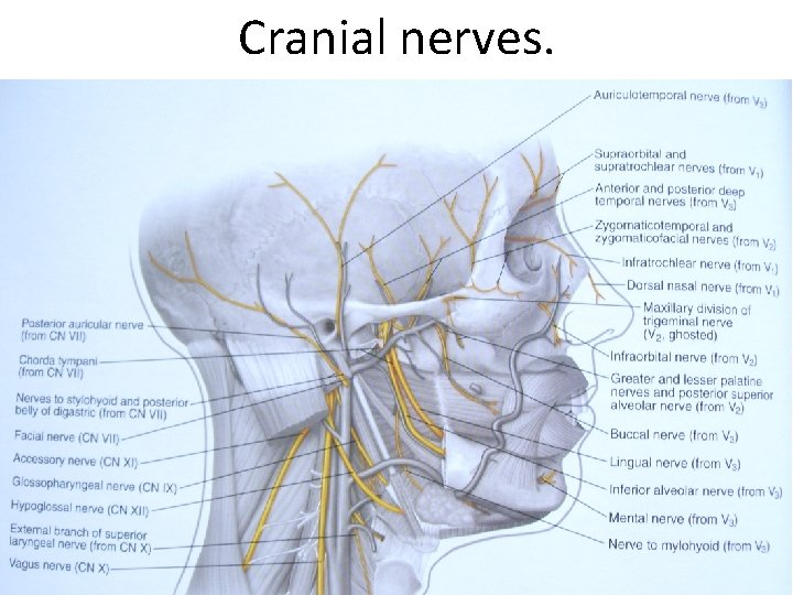 Cranial nerves.