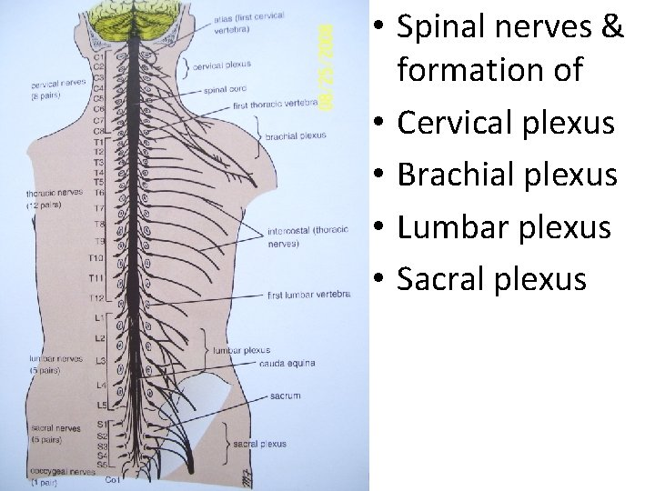 • Spinal nerves & formation of • Cervical plexus • Brachial plexus •