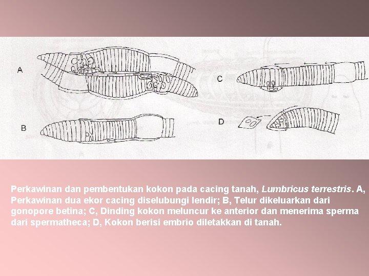 Perkawinan dan pembentukan kokon pada cacing tanah, Lumbricus terrestris. A, Perkawinan dua ekor cacing