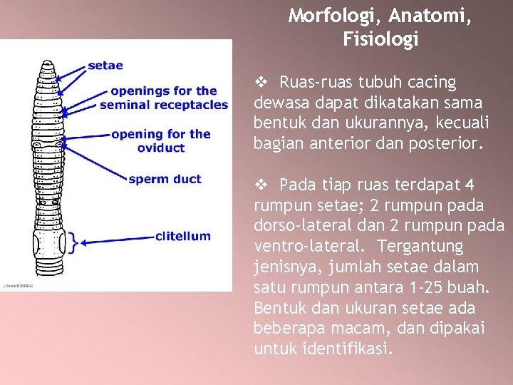 Morfologi, Anatomi, Fisiologi v Ruas-ruas tubuh cacing dewasa dapat dikatakan sama bentuk dan ukurannya,