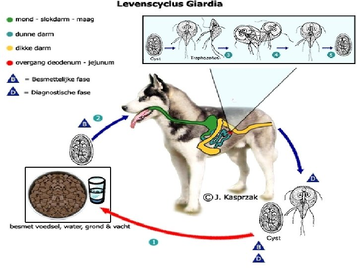 cronische giardia bij honden)