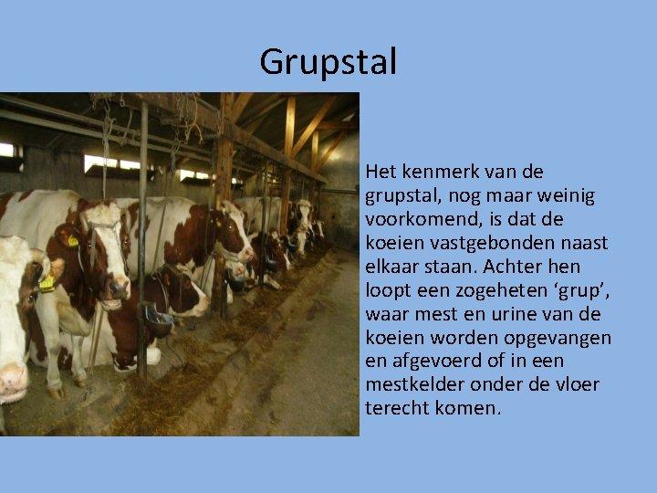 Grupstal Het kenmerk van de grupstal, nog maar weinig voorkomend, is dat de koeien