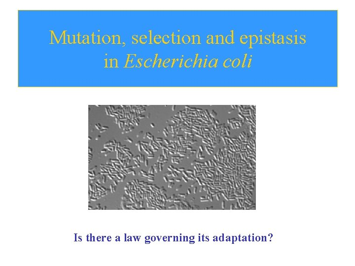 Mutation, selection and epistasis in Escherichia coli Is there a law governing its adaptation?