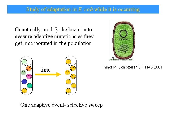 Study of adaptation in E. coli while it is occurring Genetically modify the bacteria