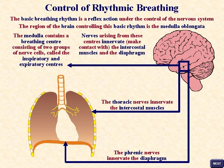 Control of Rhythmic Breathing The basic breathing rhythm is a reflex action under the