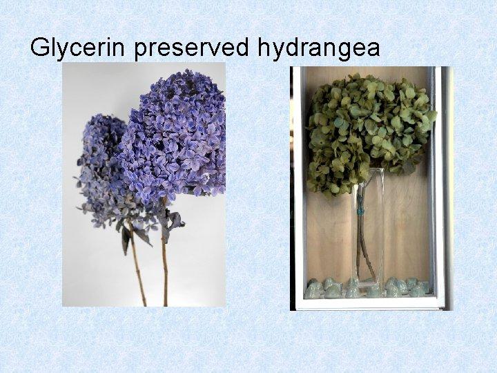Glycerin preserved hydrangea
