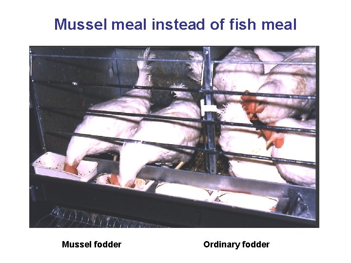 Mussel meal instead of fish meal Mussel fodder Ordinary fodder
