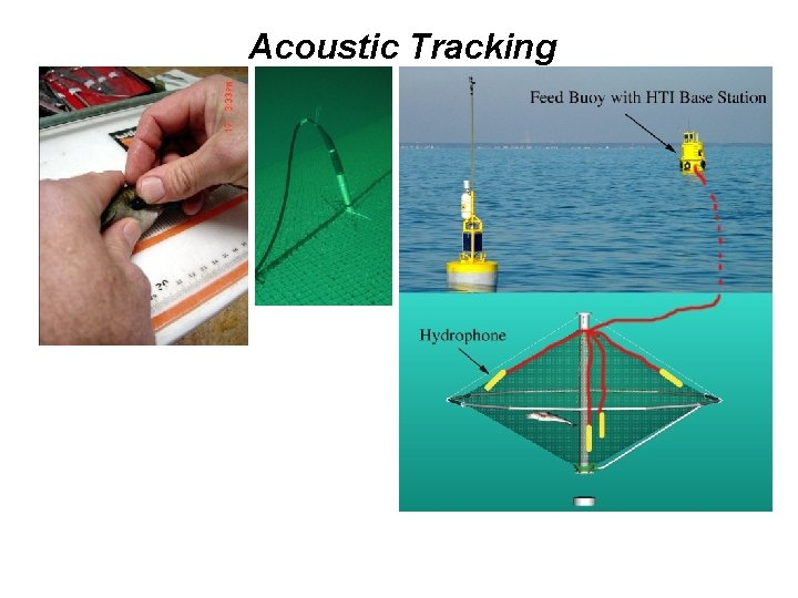 Acoustic Tracking • Continuous recording • Up to 16 fish at a time •