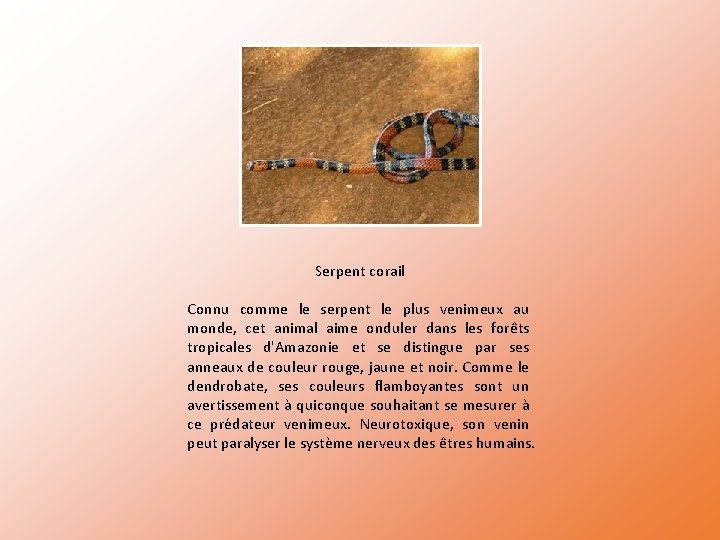 Serpent corail Connu comme le serpent le plus venimeux au monde, cet animal aime