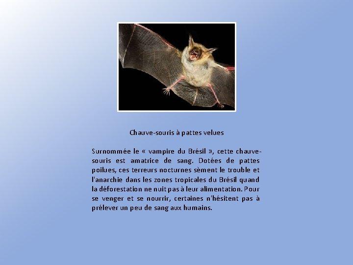 Chauve-souris à pattes velues Surnommée le « vampire du Brésil » , cette chauvesouris