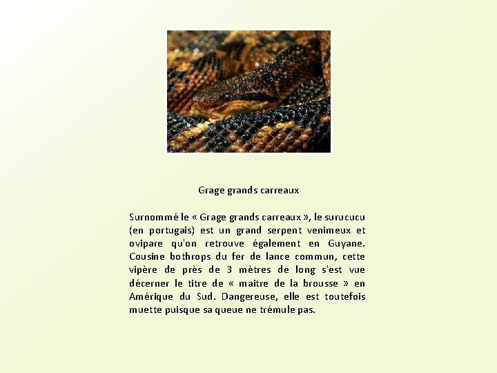 Grage grands carreaux Surnommé le « Grage grands carreaux » , le surucucu (en