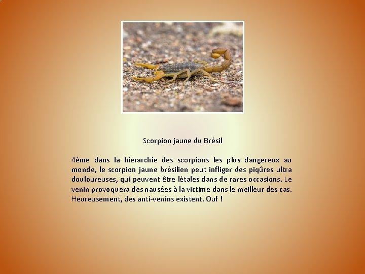 Scorpion jaune du Brésil 4ème dans la hiérarchie des scorpions les plus dangereux au