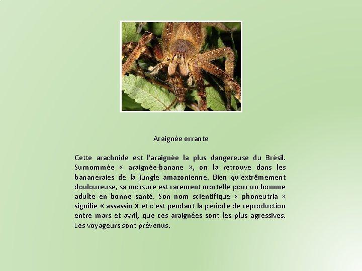 Araignée errante Cette arachnide est l'araignée la plus dangereuse du Brésil. Surnommée « araignée-banane
