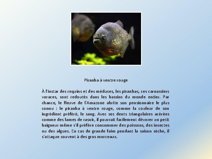 Piranha à ventre rouge À l'instar des requins et des méduses, les piranhas, ces