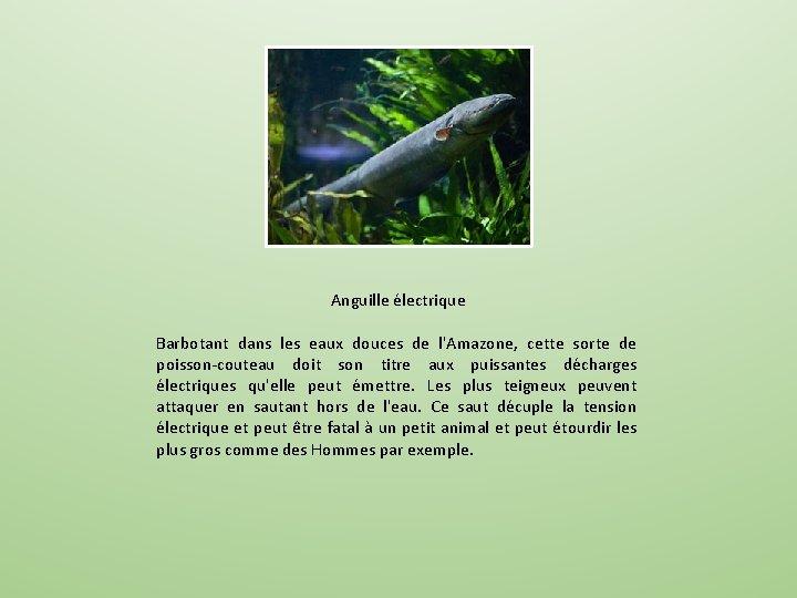 Anguille électrique Barbotant dans les eaux douces de l'Amazone, cette sorte de poisson-couteau doit