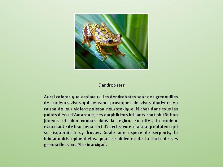 Dendrobates Aussi colorés que venimeux, les dendrobates sont des grenouilles de couleurs vives qui