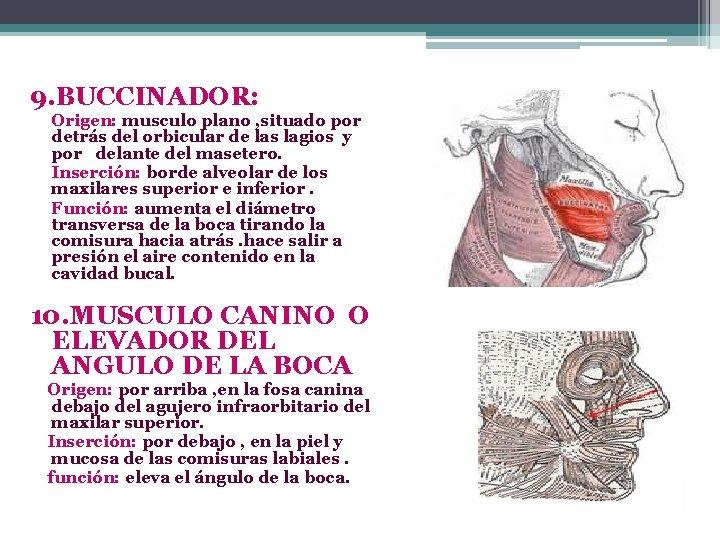 diametro trasverso muscolo)