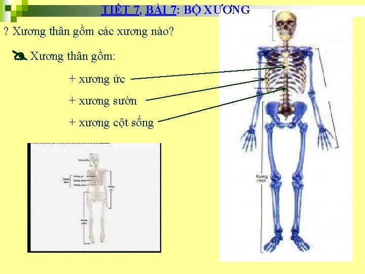 TIẾT 7, BÀI 7: BỘ XƯƠNG ? Xương thân gồm các xương nào? Xương