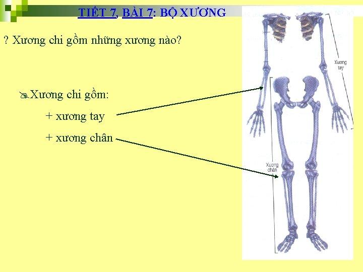 TIẾT 7, BÀI 7: BỘ XƯƠNG ? Xương chi gồm những xương nào? @Xương