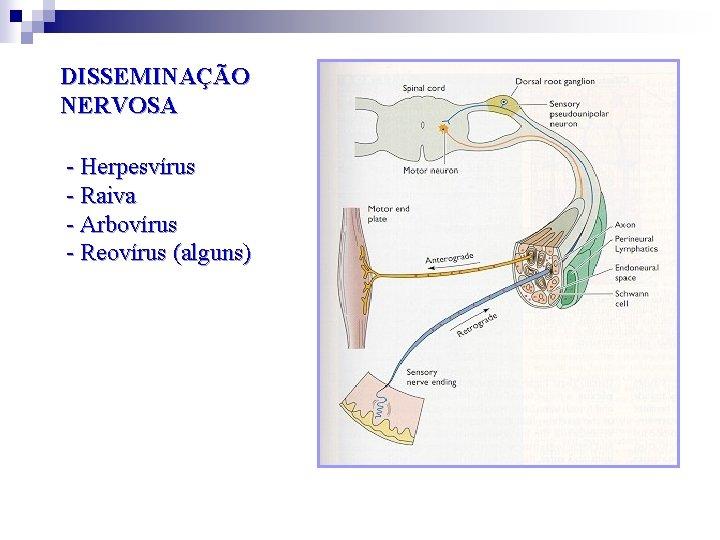DISSEMINAÇÃO NERVOSA - Herpesvírus - Raiva - Arbovírus - Reovírus (alguns)