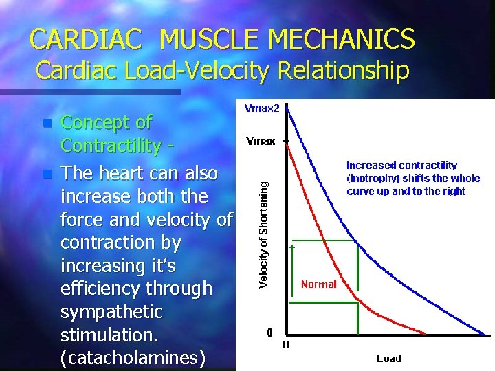 CARDIAC MUSCLE MECHANICS Cardiac Load-Velocity Relationship n n Concept of Contractility The heart can