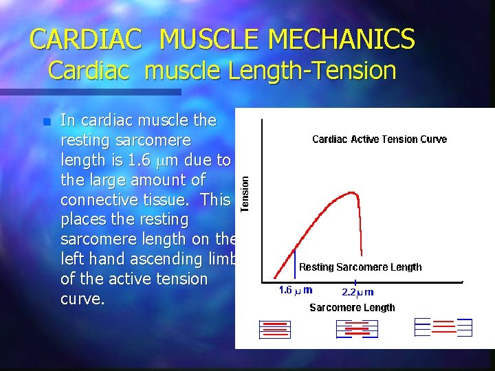 CARDIAC MUSCLE MECHANICS Cardiac muscle Length-Tension n In cardiac muscle the resting sarcomere length