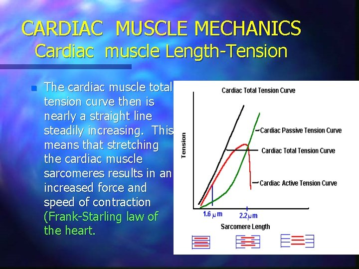 CARDIAC MUSCLE MECHANICS Cardiac muscle Length-Tension n The cardiac muscle total tension curve then