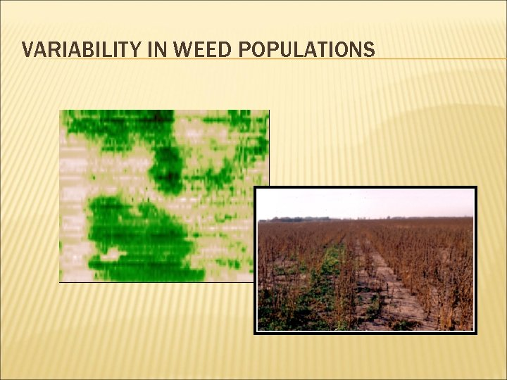 VARIABILITY IN WEED POPULATIONS