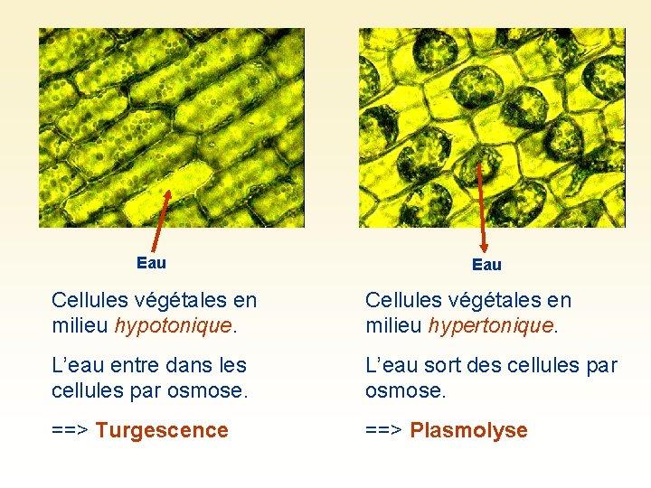 Eau Cellules végétales en milieu hypotonique. Cellules végétales en milieu hypertonique. L'eau entre dans