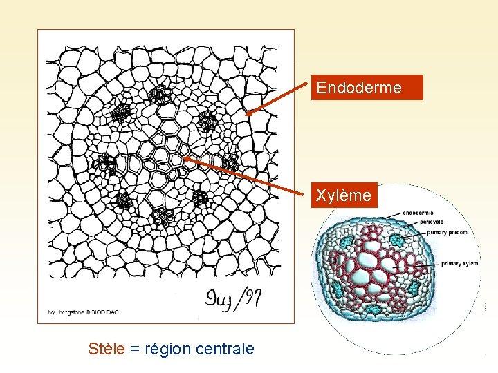 Endoderme Xylème Stèle = région centrale
