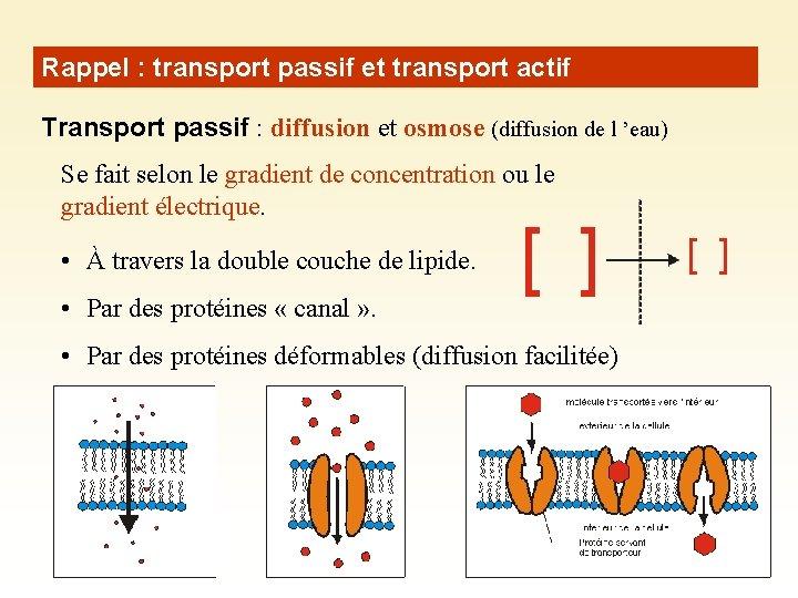 Rappel : transport passif et transport actif Transport passif : diffusion et osmose (diffusion