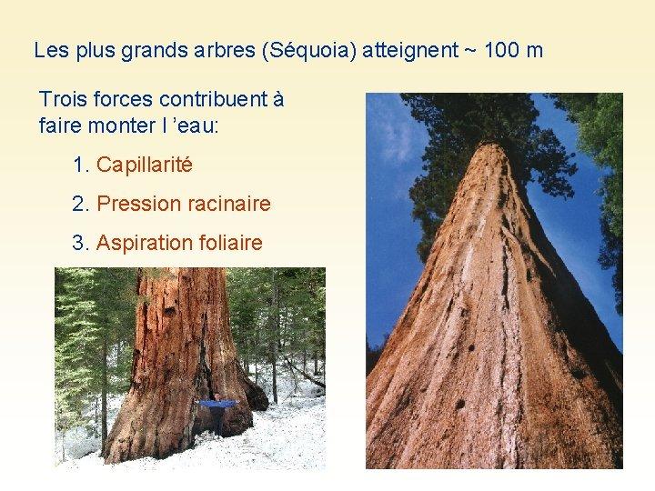 Les plus grands arbres (Séquoia) atteignent ~ 100 m Trois forces contribuent à faire