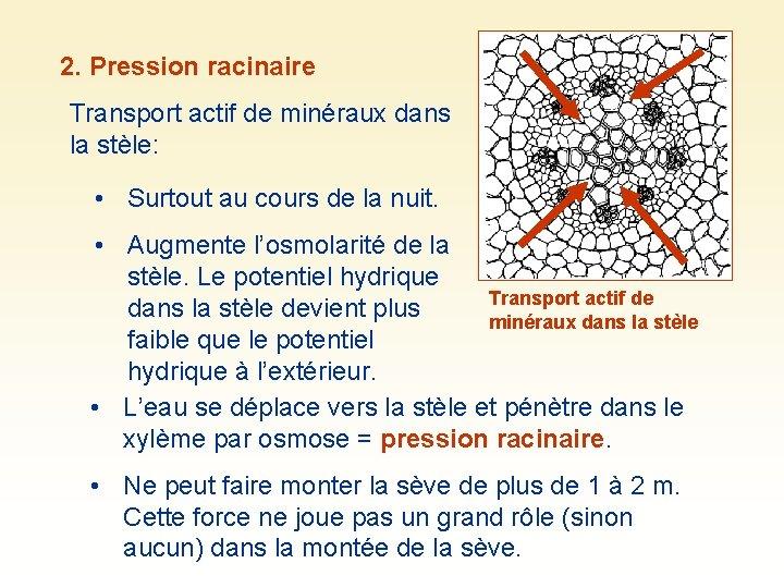 2. Pression racinaire Transport actif de minéraux dans la stèle: • Surtout au cours