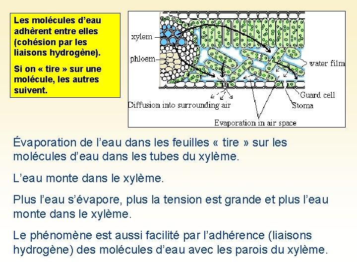 Les molécules d'eau adhèrent entre elles (cohésion par les liaisons hydrogène). Si on «